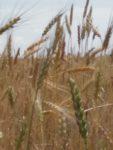 Céréales variétés anciennes